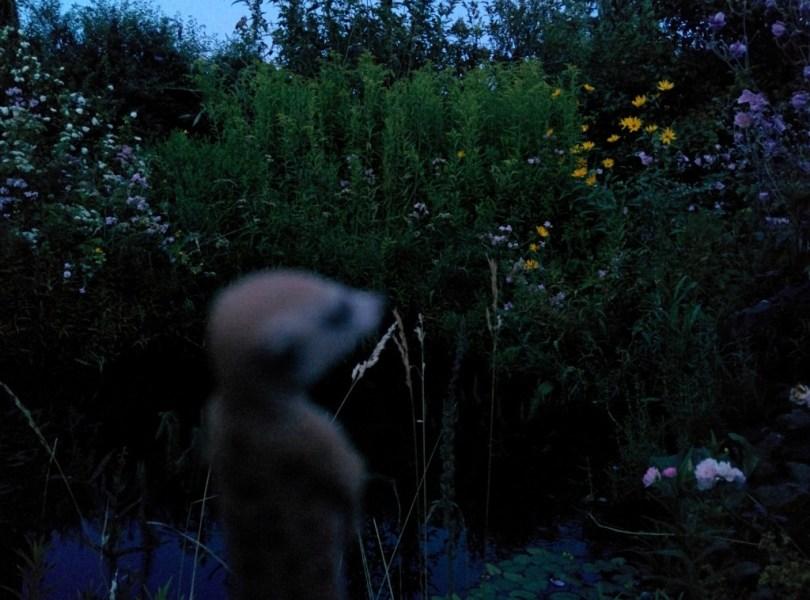 Erdmännchen am Gartenteich