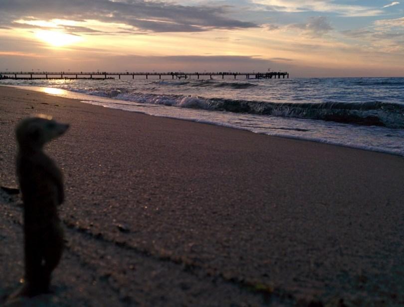 Erdmännchen an der Ostsee