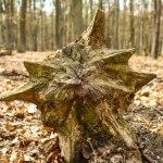 Baumstamm in Form eines Sternes