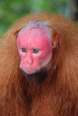 red-faced monkey