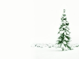 Snow covered pine spruce tree in winter at Christmas.