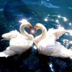 swans touching heads