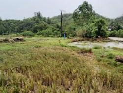 Pasca Banjir: Petani di Tabulahan Merugi, Ratusan Karung Padi Hasil Panen Hanyut