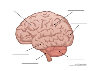 Anatomy of the Human Brain
