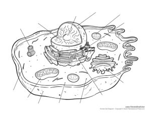 Printable Animal Cell Diagram – Labeled, Unlabeled, and Blank