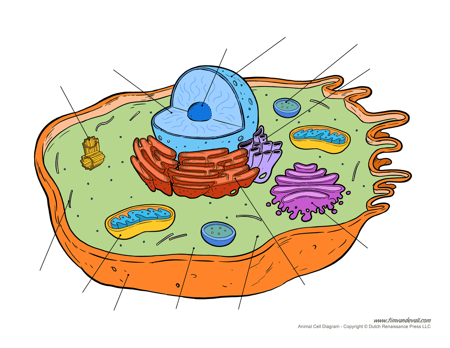 Blank Animal Cell Diagram
