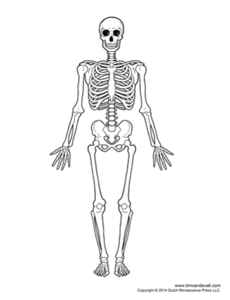 diagram of human skeleton