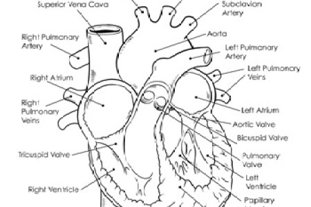 Human heart drawing labeled path decorations pictures full path human heart diagram labeled labeled drawing of the heart at human heart diagram labeled human heart diagram labeled image result for a labeled heart diagram ccuart Image collections