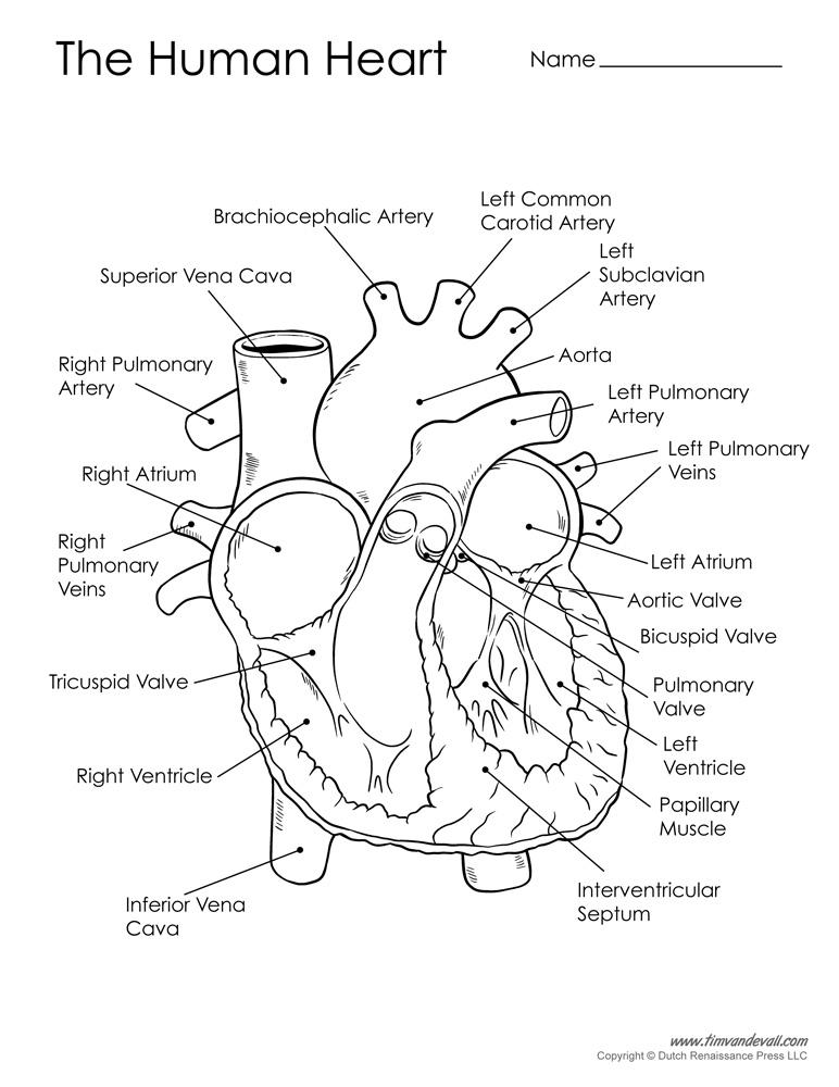 human-heart-diagram-black-and-white - Tim's Printables