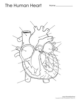 Human Heart Diagram  Unlabeled  Tim's Printables