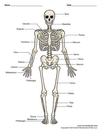 It is a photo of Nifty Life Size Printable Skeleton
