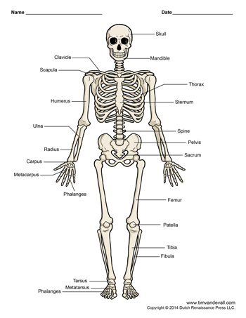 Skeleton Diagram Printable Product Wiring Diagrams
