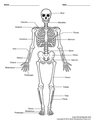 human skeleton printable