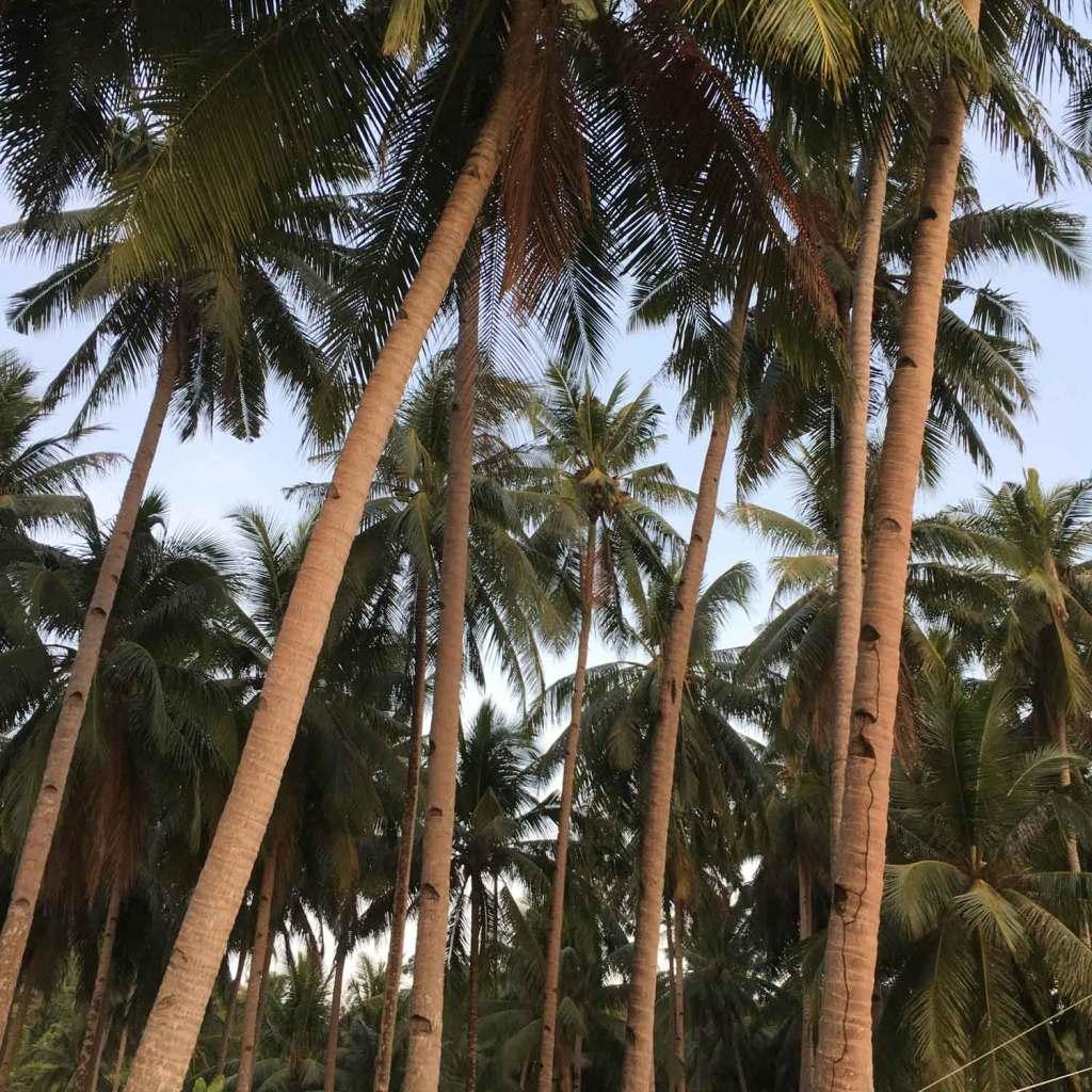 El-Nido-Corong-Corong-Palm-Trees