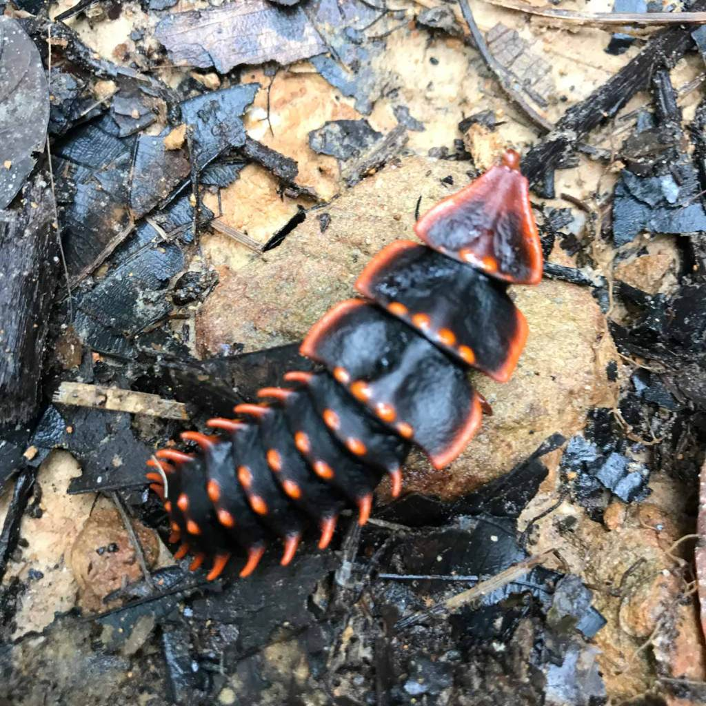 Kota-Kinabalu-Taman-Kinabalu-Beetle