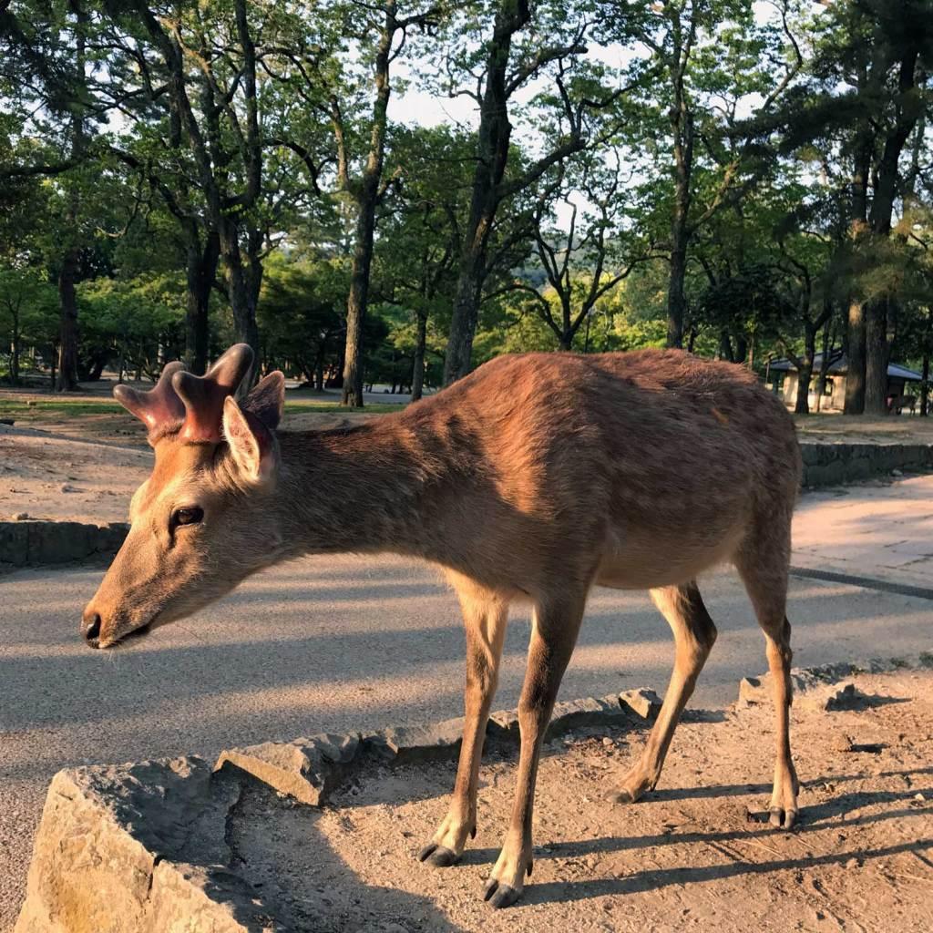 Japan Nara Herten 03