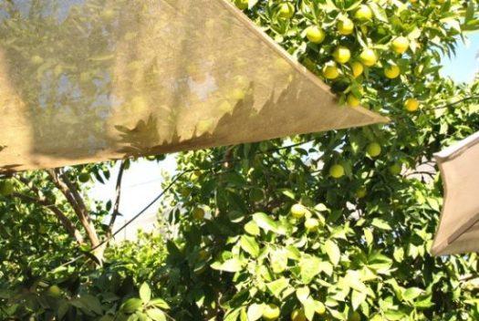 Apelsin i Soller