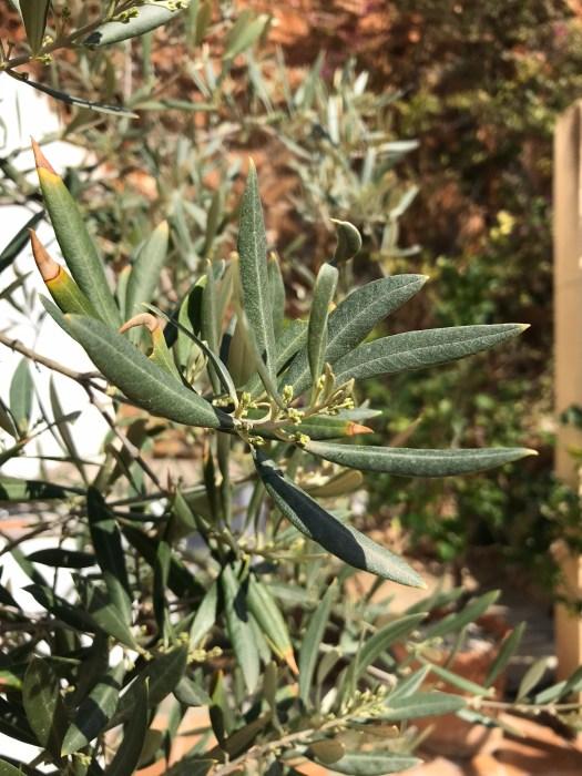 Vårt olivträd