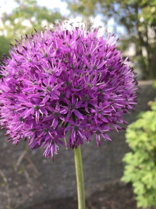 Farligt vacker blomma
