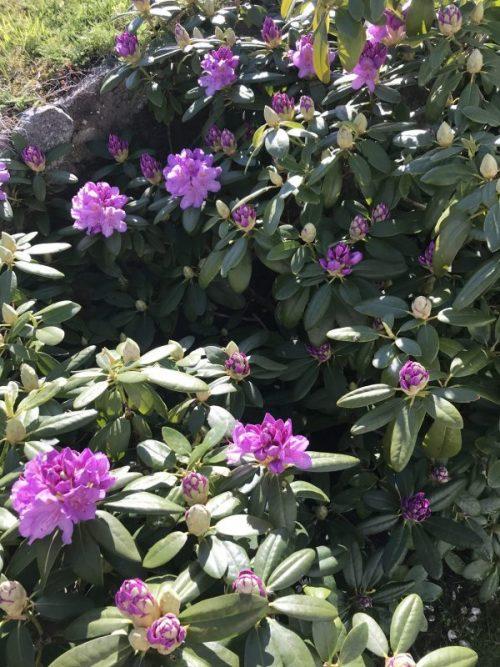 Mina trädgårdar i juni