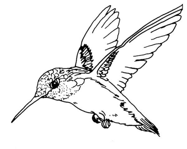 Free Printable Hummingbird Coloring Pages For Adults