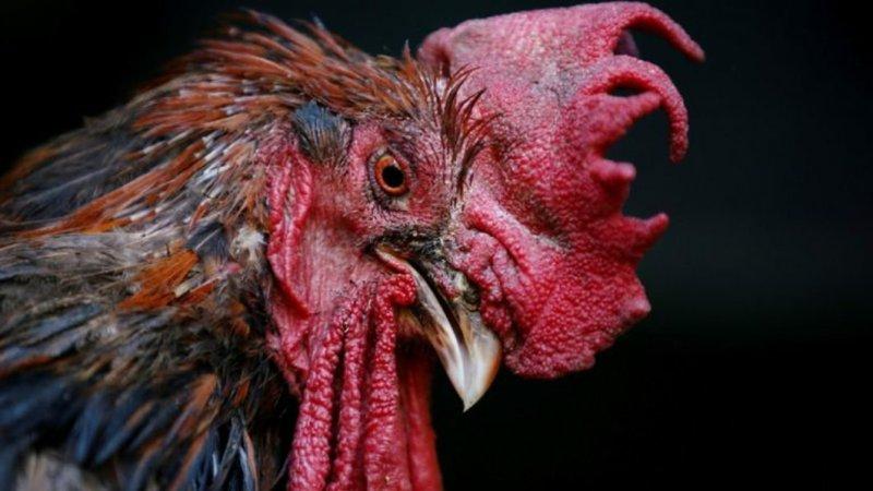Noise pollution: How man lost case against Cockerel
