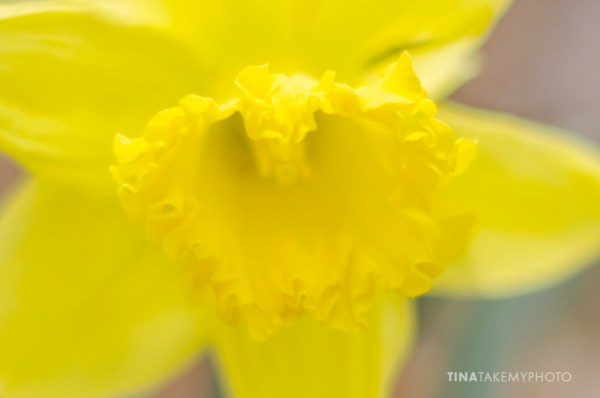 Spring-Daffodil-Virginia-Tina-Take-My-Photo-3