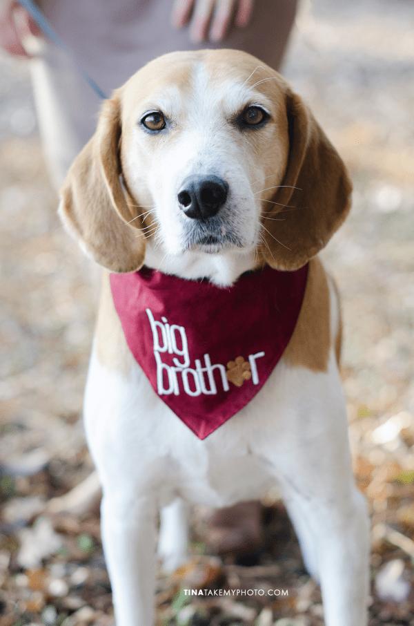Richmond-Woodlake-Winter-Maternity-Dog-Photographer (7)