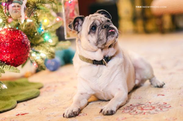 Christmas-Tree-Bokeh-Pug-Dog-Holiday-Portrait