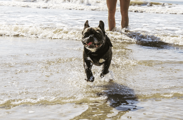 french bulldog beach