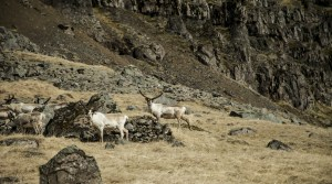 Reindeer, Iceland, East Iceland, day tour, guided tour, 4x4 tour, super jeep tour.