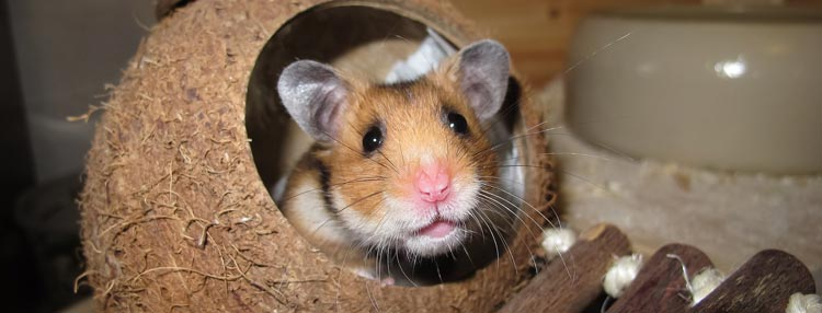 A hamster, without a waistcoat