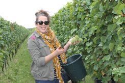 Picking some Chardonnay grapes at Tinwood Estate
