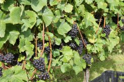 Pinot Noir being grown at Tinwood Estate Chichester
