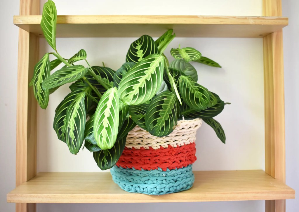 A large green maranta prayer plant in a multi-colored crochet plant pot cover made using t-shirt yarn is sitting on a light wooden shelf.