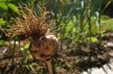 Happy garlic