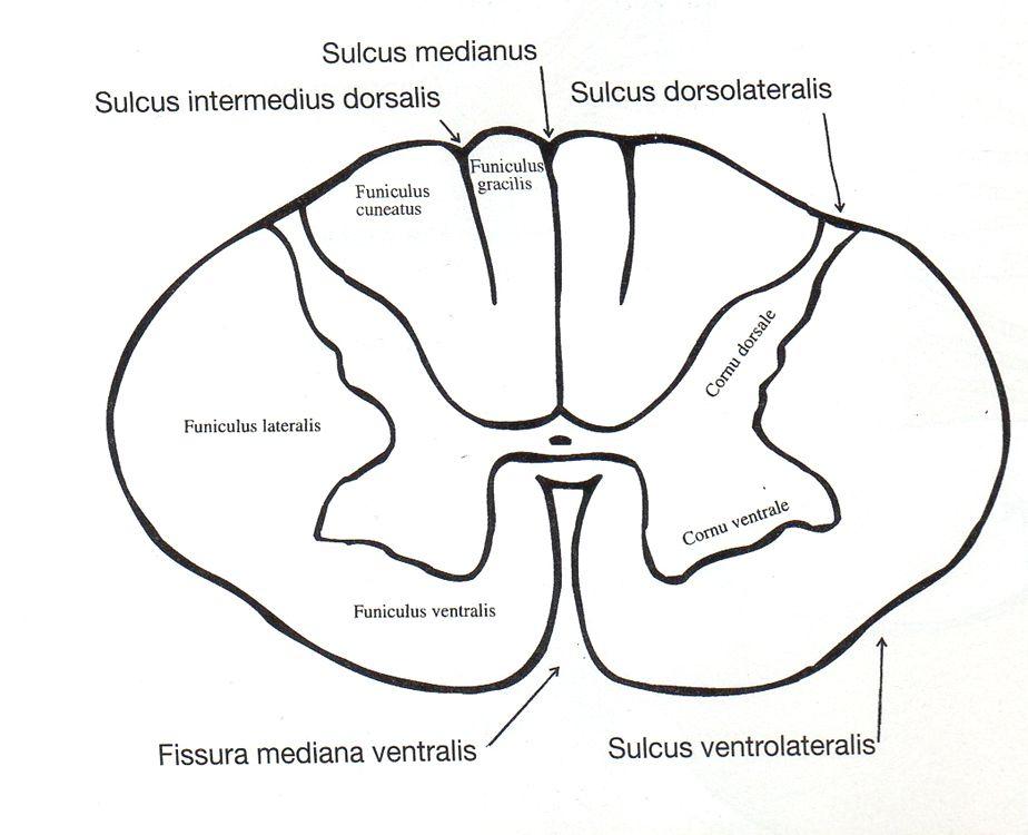 Funikulus lateralis