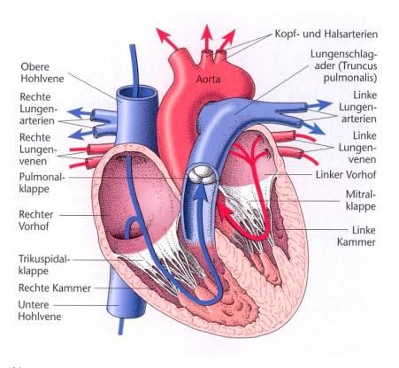 Vena pulmonalis dekstra superior