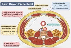 Periton Nedir? Periton Anatomisi ve Boşlukları