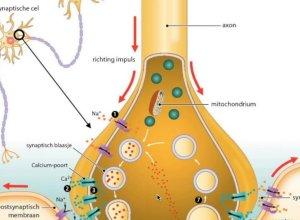 Adrenerjik ve Kolinerjik sinapsların özellikleri