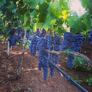 Azienda vitivinicola falconieri