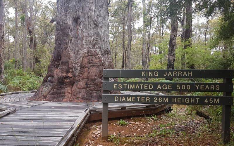 Il King Jarrah, l'albero di eucalipto di 500 anni