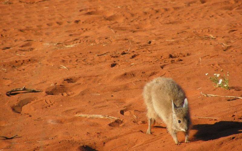 Il Mala, il marsupiale molto importante per la storia di Uluru