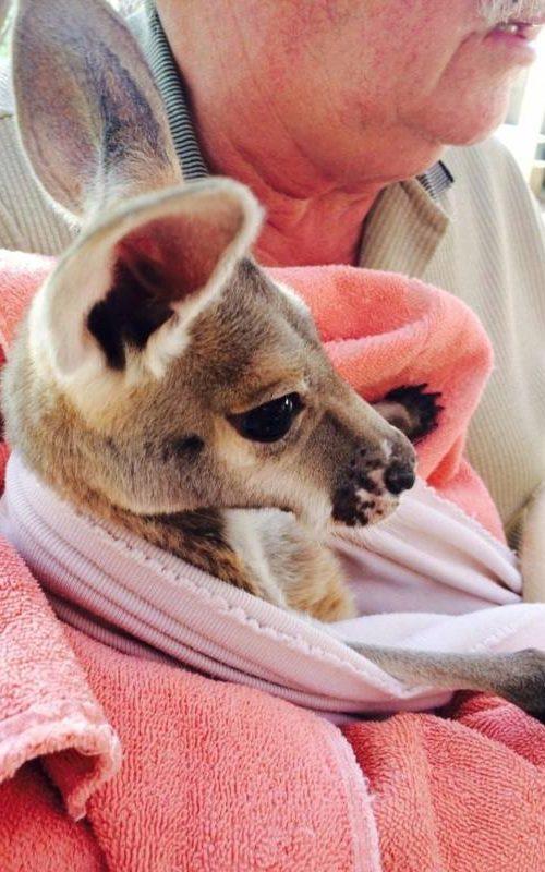 """Cucciolo di canguro orfano nel museo orfanotrofio """"Josephine's gallery & kangaroo orphanage"""" di Coober Pedy, città sotterranea d'Australia"""