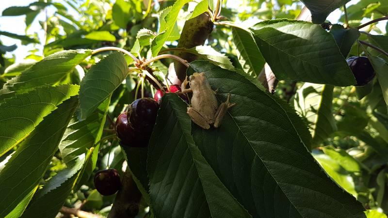 88 giorni in Farm australiana con la raccolta delle ciliegie con tanto di rana
