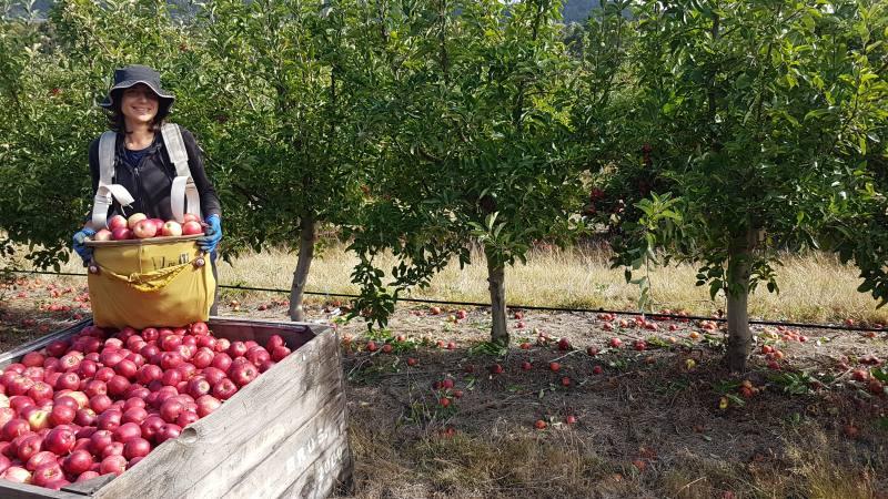 Raccolta mele in Tasmania per gli 88 giorni di Farm australiani