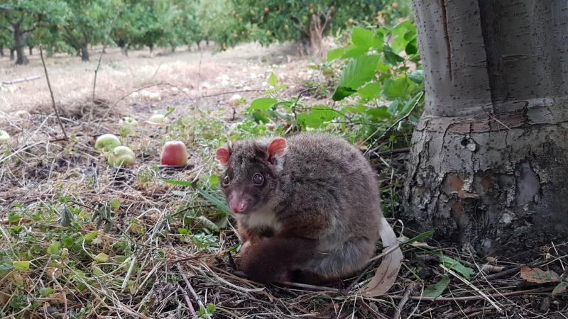 Opossum ferito durante la raccolta delle mele negli 88 giorni di Farm australiani in Tasmania