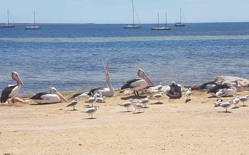 Pellicani sulla spiaggia di Penneshaw a Kangaroo Island