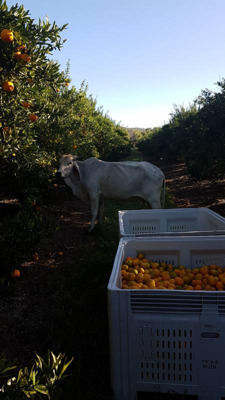 Raccolta di mandarini nella Farm australiana insieme ad un mucca