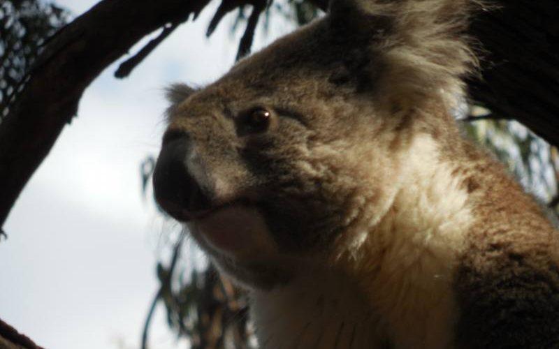 Koala dal parcheggio del Visitor Centre del Flinders Chase National Park di Kangaroo Island